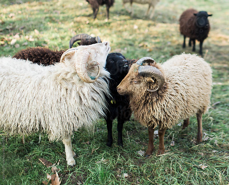 Laughing Ouessant ewe and two rams cuddle while standing in meadow by Laura Stolfi for Stocksy United