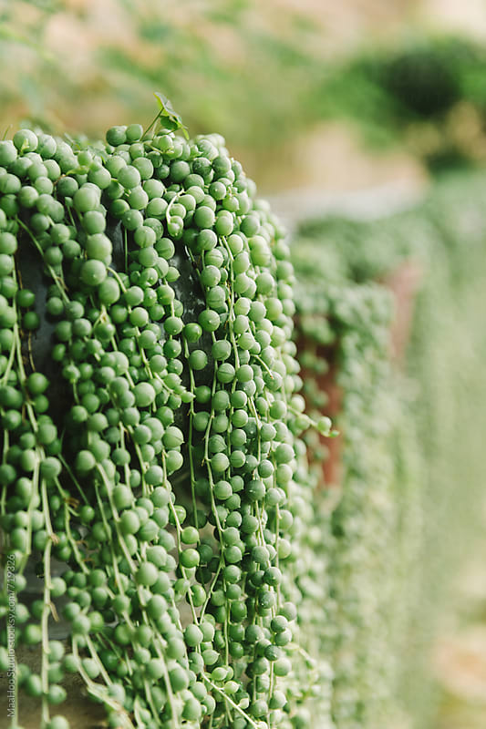 Close up of succulent plant in Greenhouse by Maa Hoo for Stocksy United