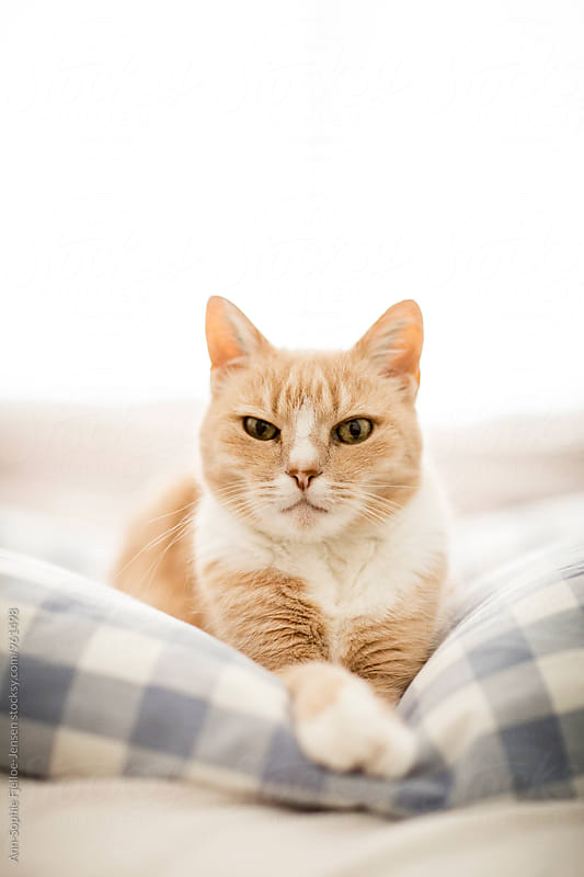 Cat laying on a bed by Ann-Sophie Fjelloe-Jensen for Stocksy United