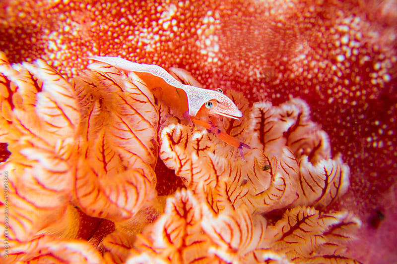 shrimp stand on soft coral  by Song Heming for Stocksy United