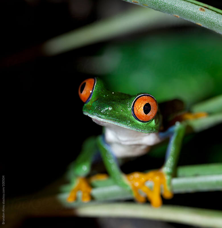 Red Eyed Tree Frog by Brandon Alms for Stocksy United