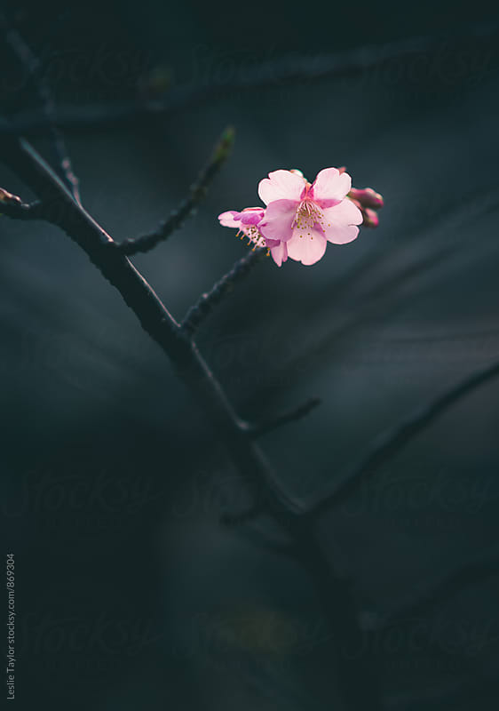 Pink Kawazu cherry blossom blooming  by Leslie Taylor for Stocksy United