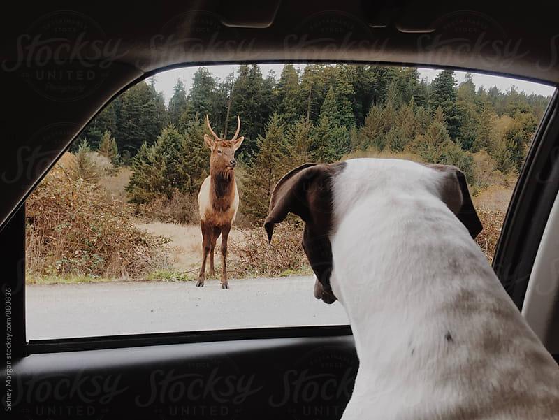 Elk Watching by Sidney Morgan for Stocksy United