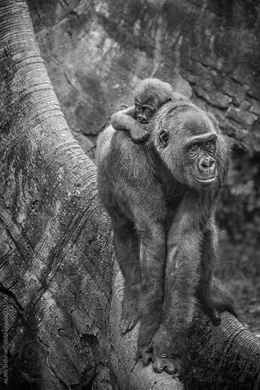 Gorilla mother and child by alan shapiro for Stocksy United