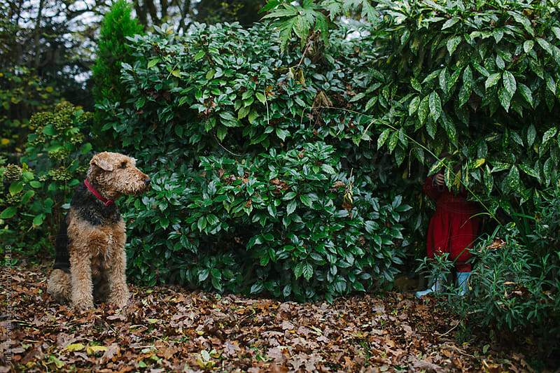 A little girl tries to play hide and seek with an Airedale dog. by Julia Forsman for Stocksy United