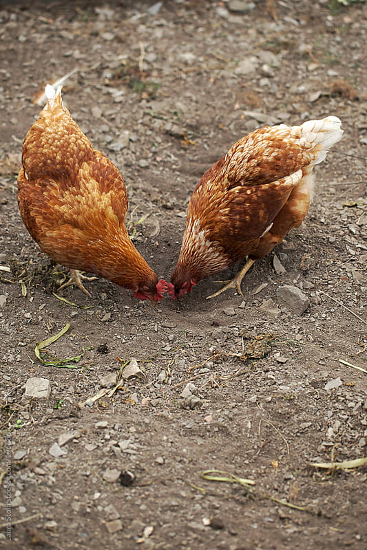 Two hen chickens eating vegetable from the soil by Laura Stolfi for Stocksy United