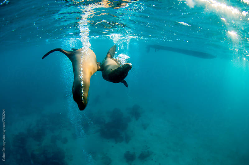 Playful galapagos sea lion by Caine Delacy for Stocksy United