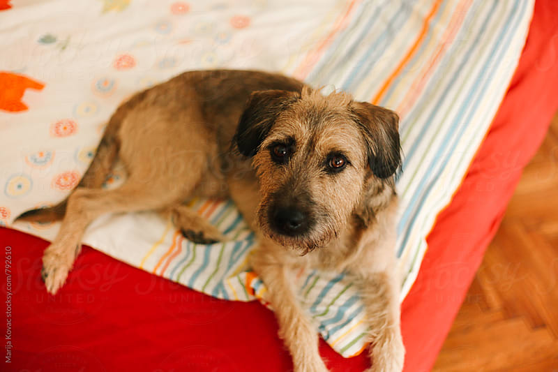 Cute dog lying and looking at the camera  by Marija Kovac for Stocksy United