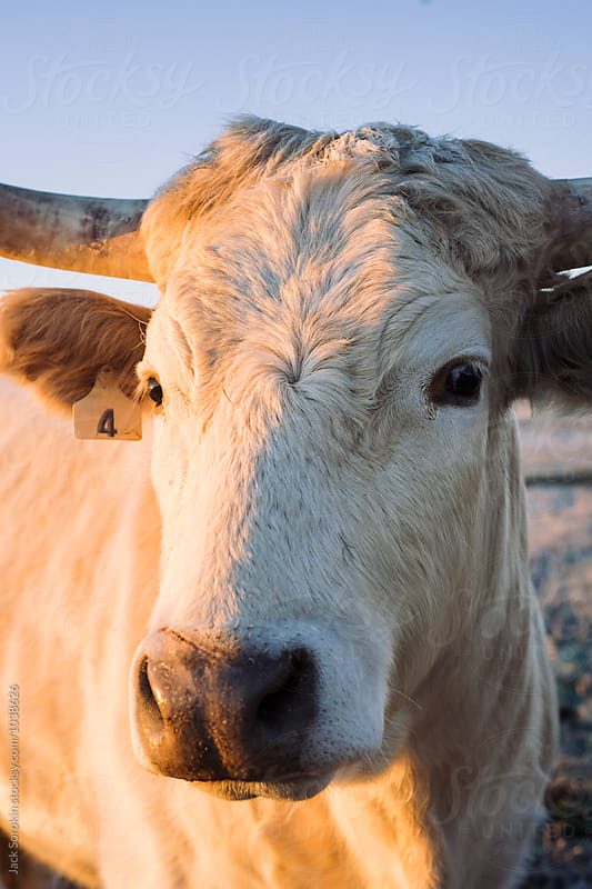 Portrait of White Texas Longhorn by Jack Sorokin for Stocksy United