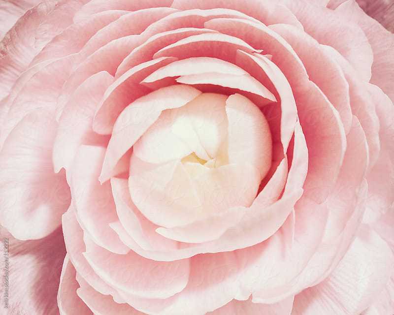 Closeup Of Pink Ranunculus Flower In Bloom by Kelli Seeger Kim for Stocksy United