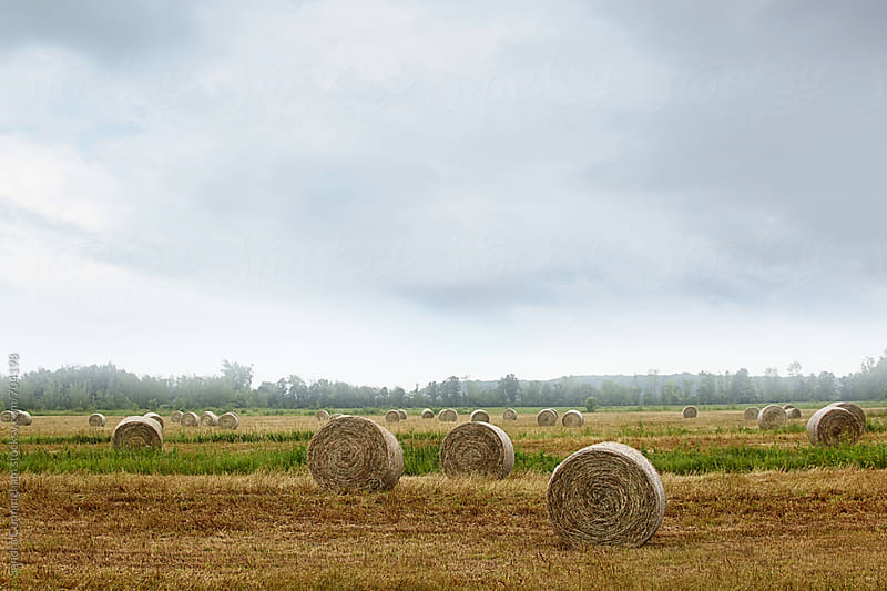 Bales of hay in field on a misty morning by Sandra Cunningham for Stocksy United