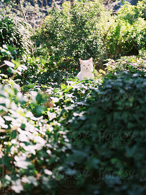 White cat sits amongst plants in sunny garden, film by Laura Stolfi for Stocksy United