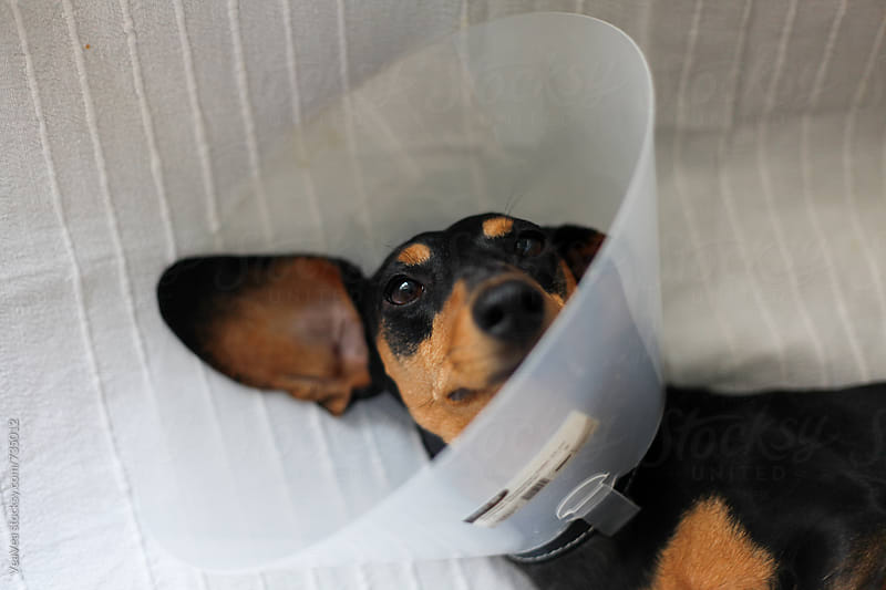 Cute black dachchund with a dog cone lying on the couch. by Marija Mandic for Stocksy United