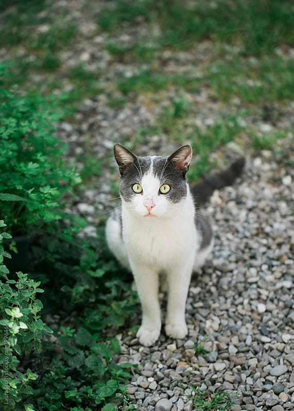 White and gray adult cat sitting in summer garden in the shadow by Laura Stolfi for Stocksy United