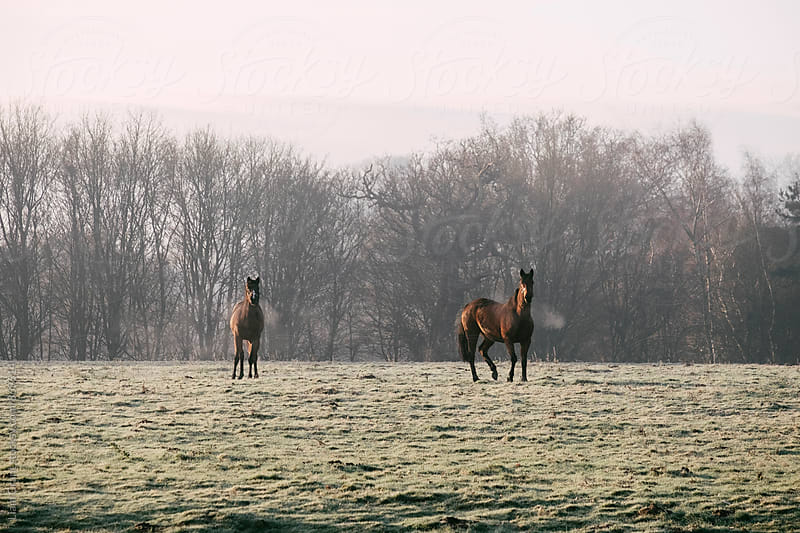 Early morning light on two horses in a frost covered field. Norfolk, UK. by Liam Grant for Stocksy United