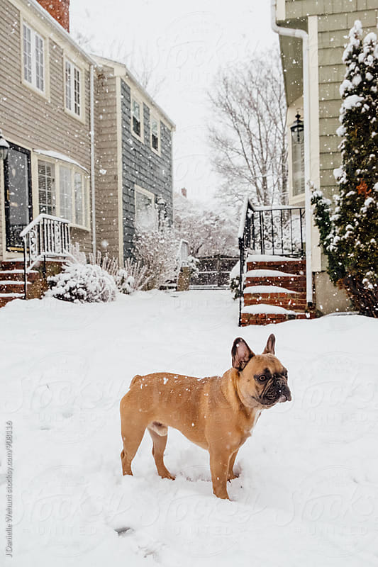 A French Bulldog puppy walking carefully and cautiously through the snow by J Danielle Wehunt for Stocksy United