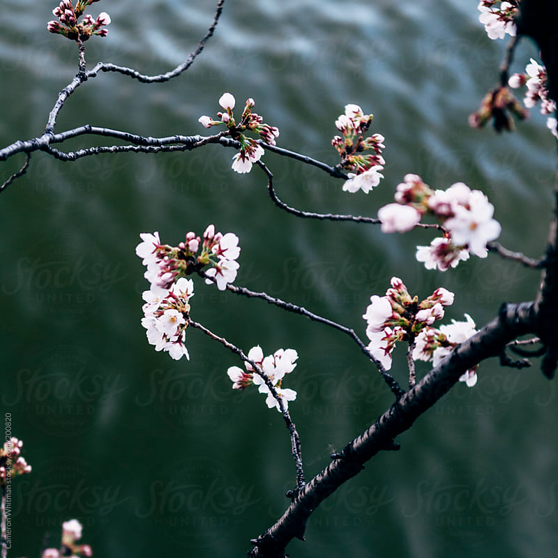 Cherry Blossoms over water by Cameron Whitman for Stocksy United