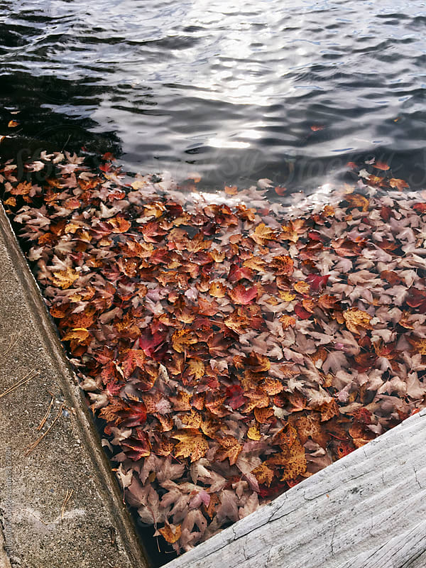 Fallen leaves floating on a lake in autumn by Holly Clark for Stocksy United