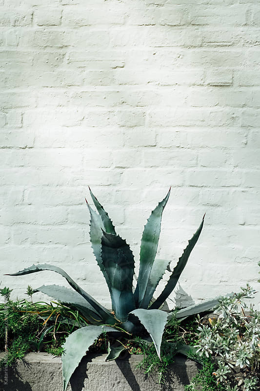 Aloe Vera Plant in Front of the White Wall by Katarina Radovic for Stocksy United