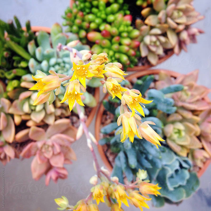 Looking Down on A Trio of Sedum Planters by Leigh Love for Stocksy United