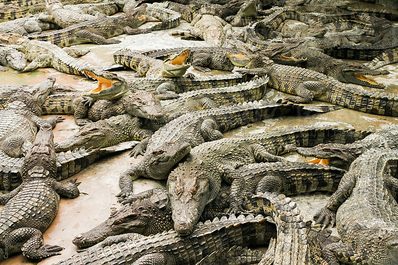 crocodile farm in Vietnam by Cameron Zegers for Stocksy United