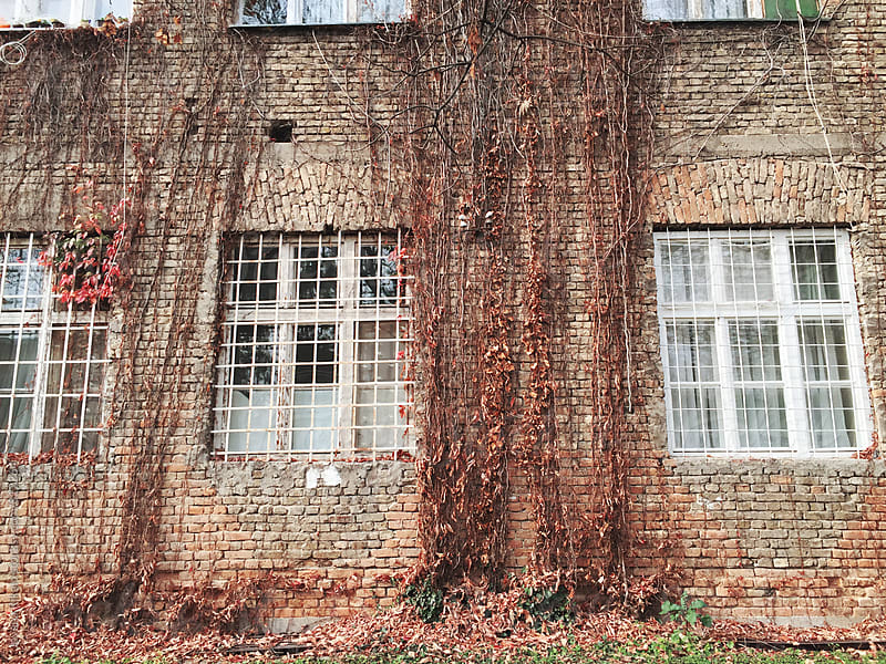 Ivy growing on a brick wall of an old house by Jovana Rikalo for Stocksy United