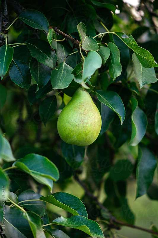 Green pear on tree by Pixel Stories for Stocksy United