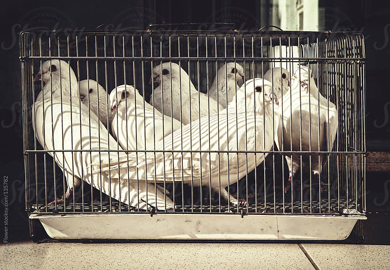 Pigeons in a cage by T-REX & Flower for Stocksy United