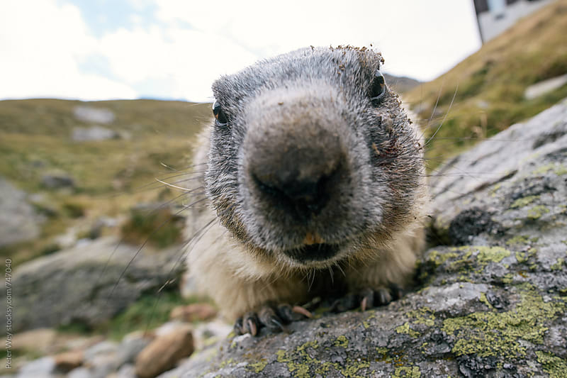Curious marmot by Peter Wey for Stocksy United