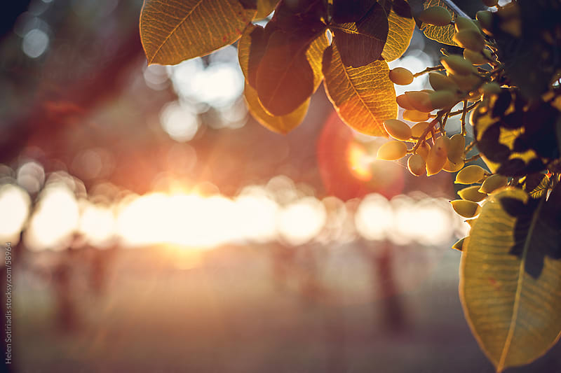 Pistachios growing on trees in the sunlight by Helen Sotiriadis for Stocksy United