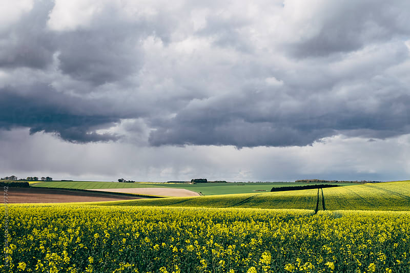 Rapeseed field and distant rain storm over Massingham Common. Norfolk, UK. by Liam Grant for Stocksy United