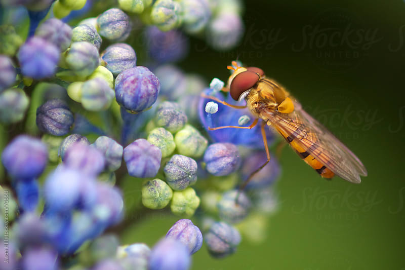 An insect resting on some hydrangea flowers by Jason Hill for Stocksy United