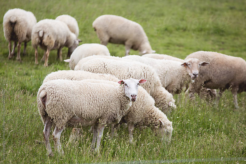 Image of a flock of white sheep in a lush green field by anya brewley schultheiss for Stocksy United