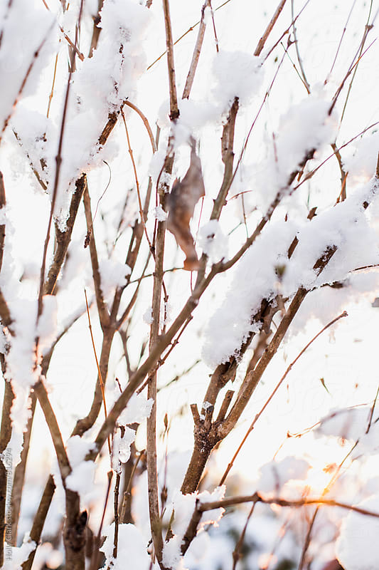 Snow in branches during sunset by Holly Clark for Stocksy United