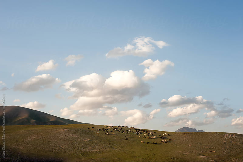 Flock of sheep in a pasture by Jean-Claude Manfredi for Stocksy United