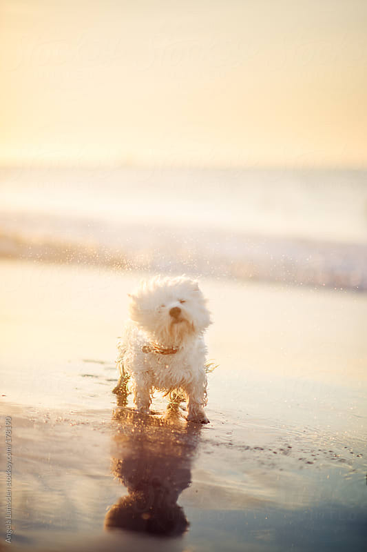 White dog shaking water droplets at the beach at sunset by Angela Lumsden for Stocksy United