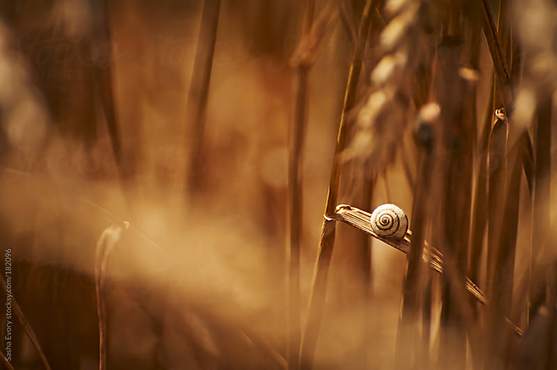 Snail inside wheat field - 2  by Sasha Evory for Stocksy United