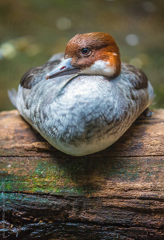 Duck on a log by ALAN SHAPIRO for Stocksy United