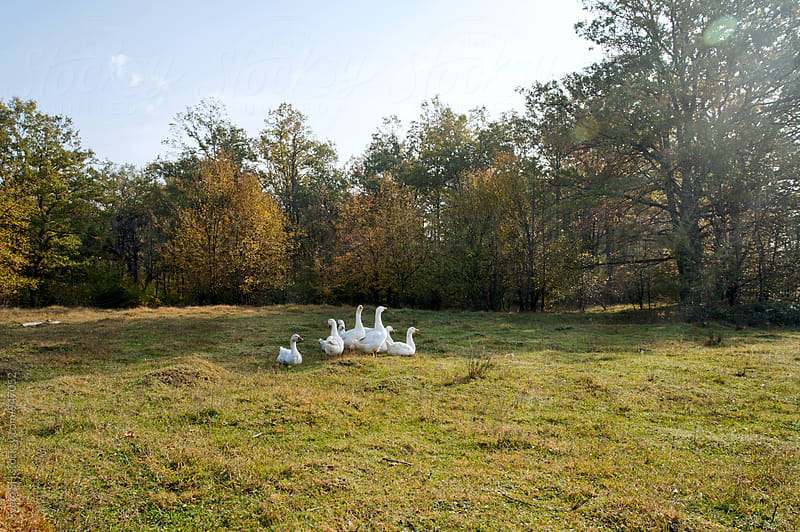 Autumn landscape with geese by Sveta SH for Stocksy United