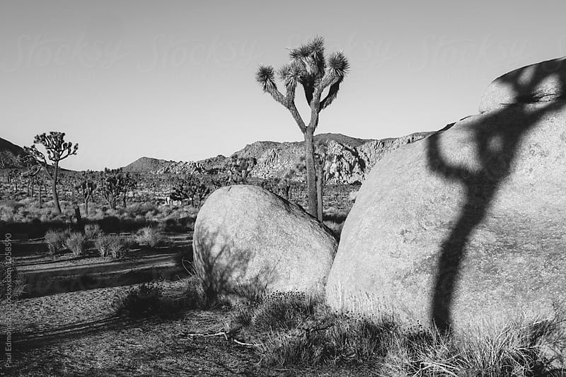 Joshua Tree and rock formations at dawn, Joshua Tree NP, CA, USA by Paul Edmondson for Stocksy United