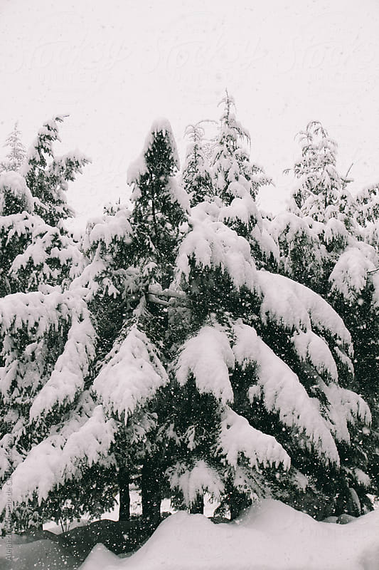 Pine trees covered in snow while heavy snowfall. Winter - christ by Alejandro Moreno de Carlos for Stocksy United