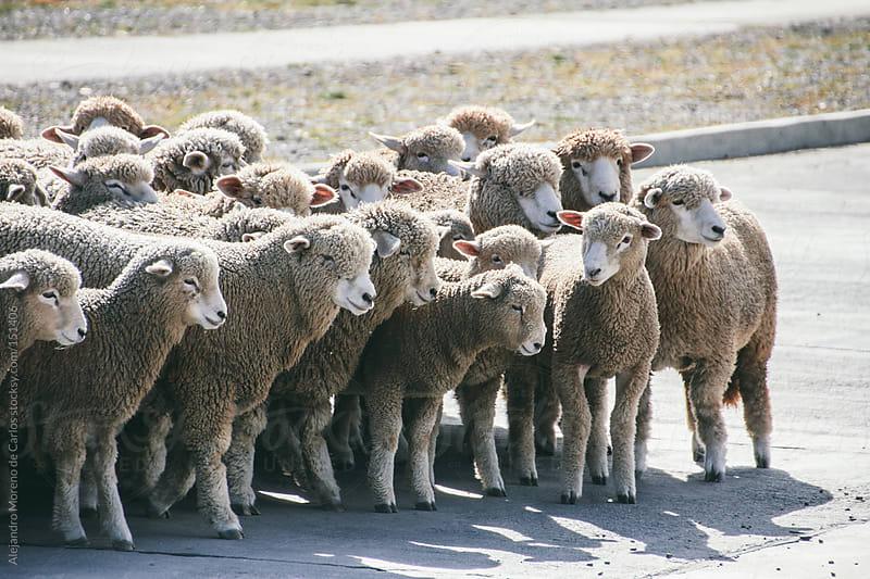 Herd of sheep in Argentina by Alejandro Moreno de Carlos for Stocksy United