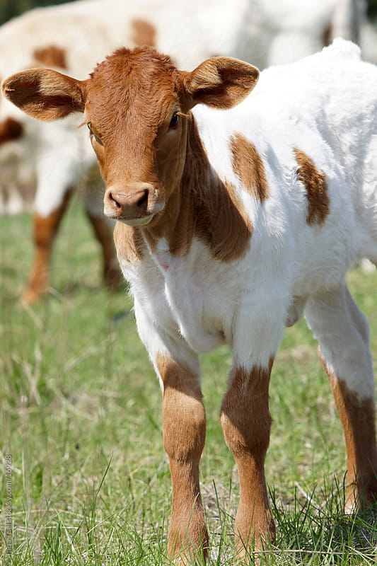 Young calf standing in the pasture by Tana Teel for Stocksy United