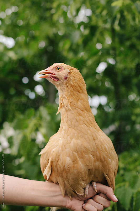 Hen Perching by luke + mallory leasure for Stocksy United