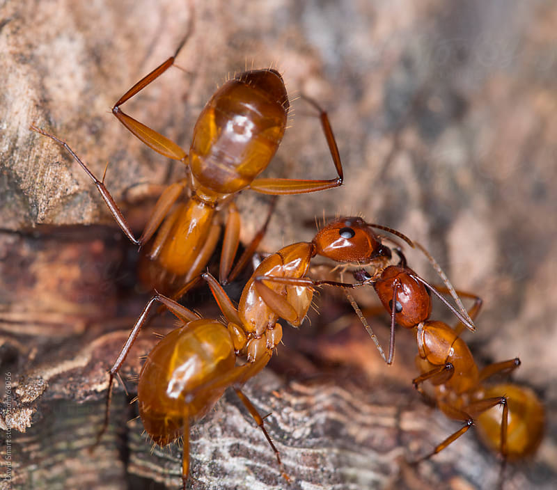 Workers engaging in trophallaxis, the social sharing of food. by David Smart for Stocksy United