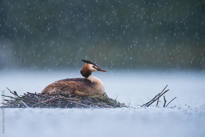Great crested grebe by Gabriel Ozon for Stocksy United
