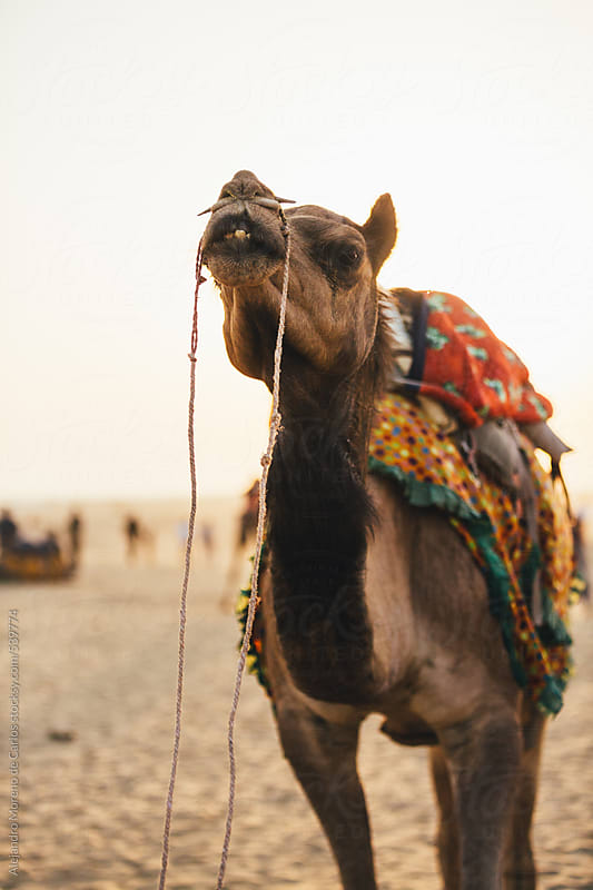 Camel on the desert at sunset waiting for tourists for a walk by Alejandro Moreno de Carlos for Stocksy United