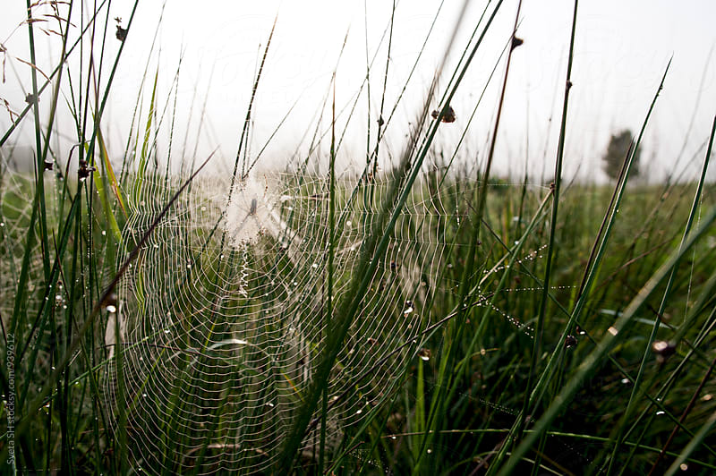 Spider web covered a dew by Sveta SH for Stocksy United