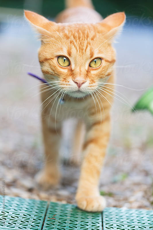 Handsome red cat walks towards the camera in bright outdoors by Laura Stolfi for Stocksy United