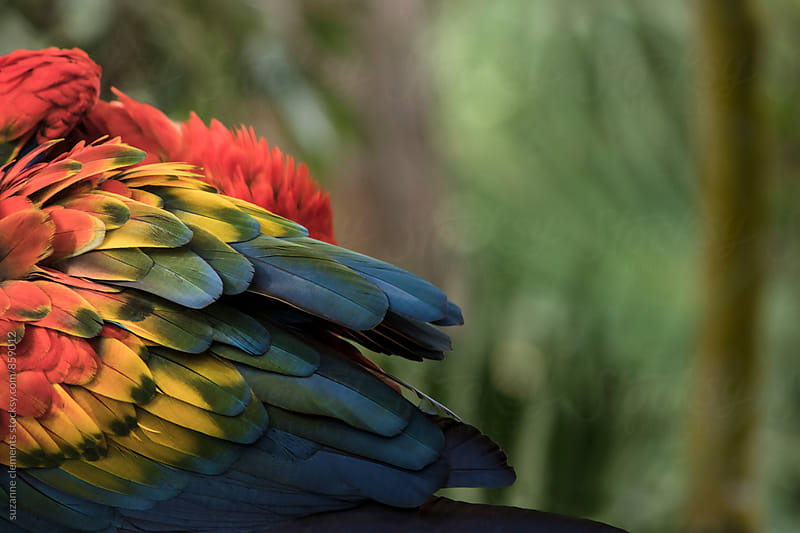 Parrot Preening Plumage by suzanne clements for Stocksy United